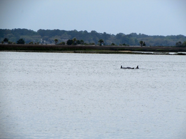 Dolphins in Hilton Head Harbor